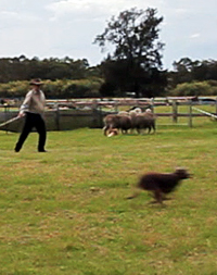 Kelpie working dog learns to Cast