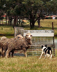 sheep dog trial border collie kelpie